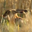 Brown Hare hiding in evening wheat Lepus europaeus