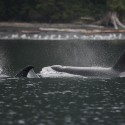Killer whales near rubbing beach Orcinus orca