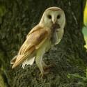 Barn Owl with vole Suffolk Tyto Alba