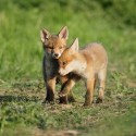 Fox cubs having a quiet moment rural Suffolk Vulpes vulpes
