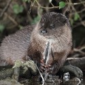 Otter feeding south Norfolk Lutra lutra