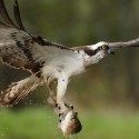 Osprey at full stretch with fish just out of water Pandion halia