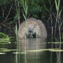 Beaver feeding on Bracken, mid Argyll Castor fiber