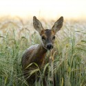 Roe Deer curious in wet Barley field Suffolk Capreolus capreolus