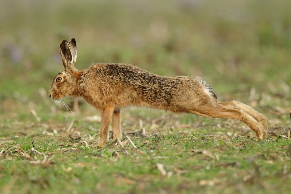 Rabbit Mating and tips for successfully breeding rabbits
