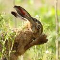 Brown Hare close nose washing. Morning light Suffolk. Lepus europaeus