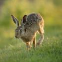 Brown Hare low jog, June sunset. Suffolk. Lepus europaeus