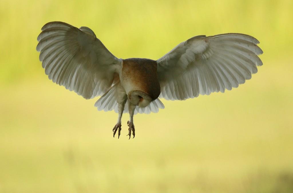 Barn Owl hovering hunt, early morning June, Suffolk. Tyto alba