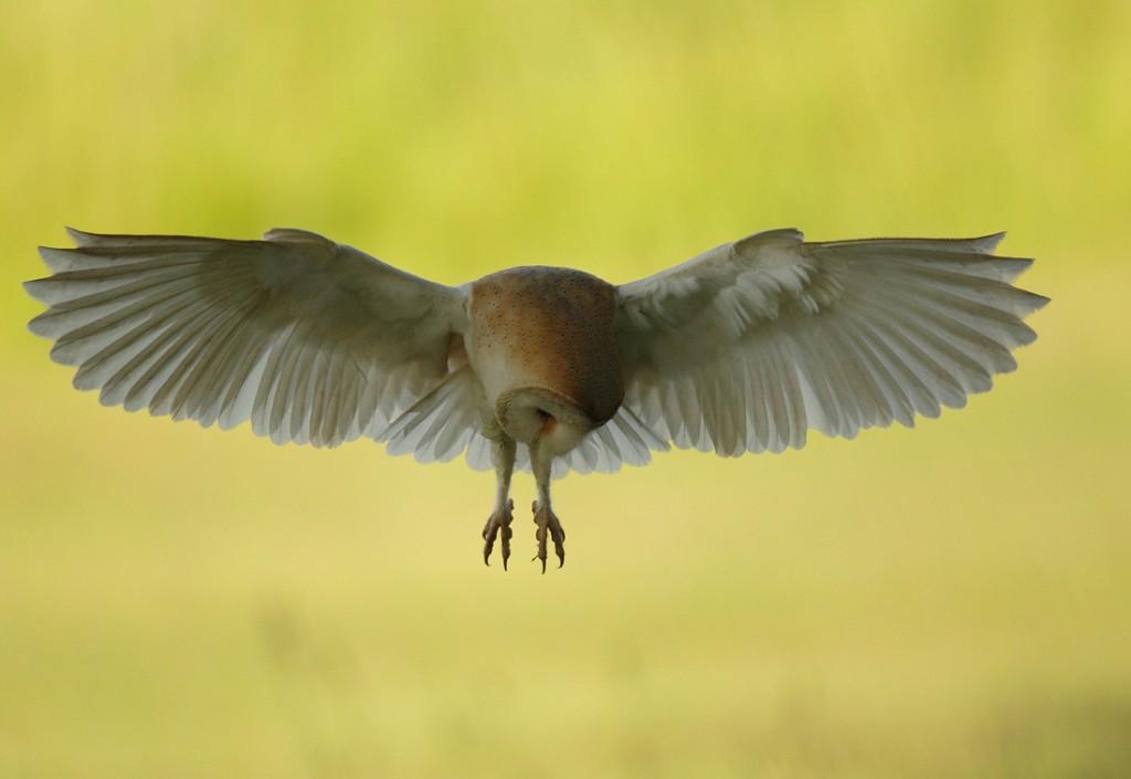 Barn Owl, Hunting angel Early morning, June Suffolk. Tyto alba