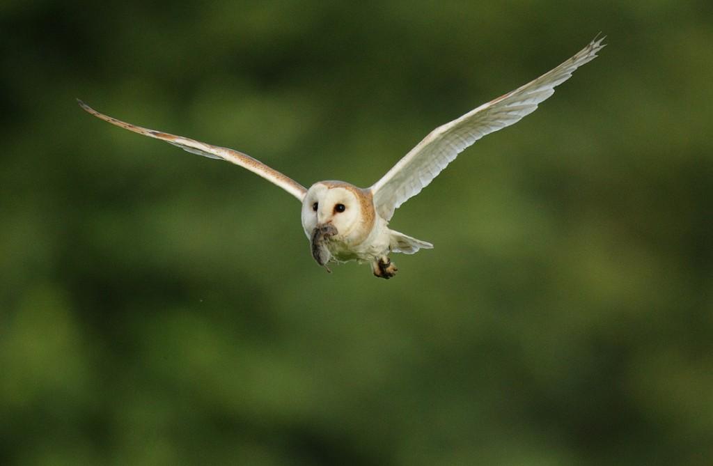 Barn Owl flying with vole in beak, early june morning Suffolk. Tyto alba