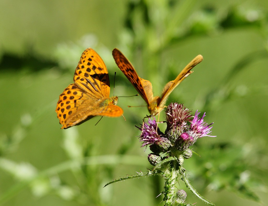 Siver-washed Fritillary pair on thistle, early morning July. Suffolk. Argynnis paphia