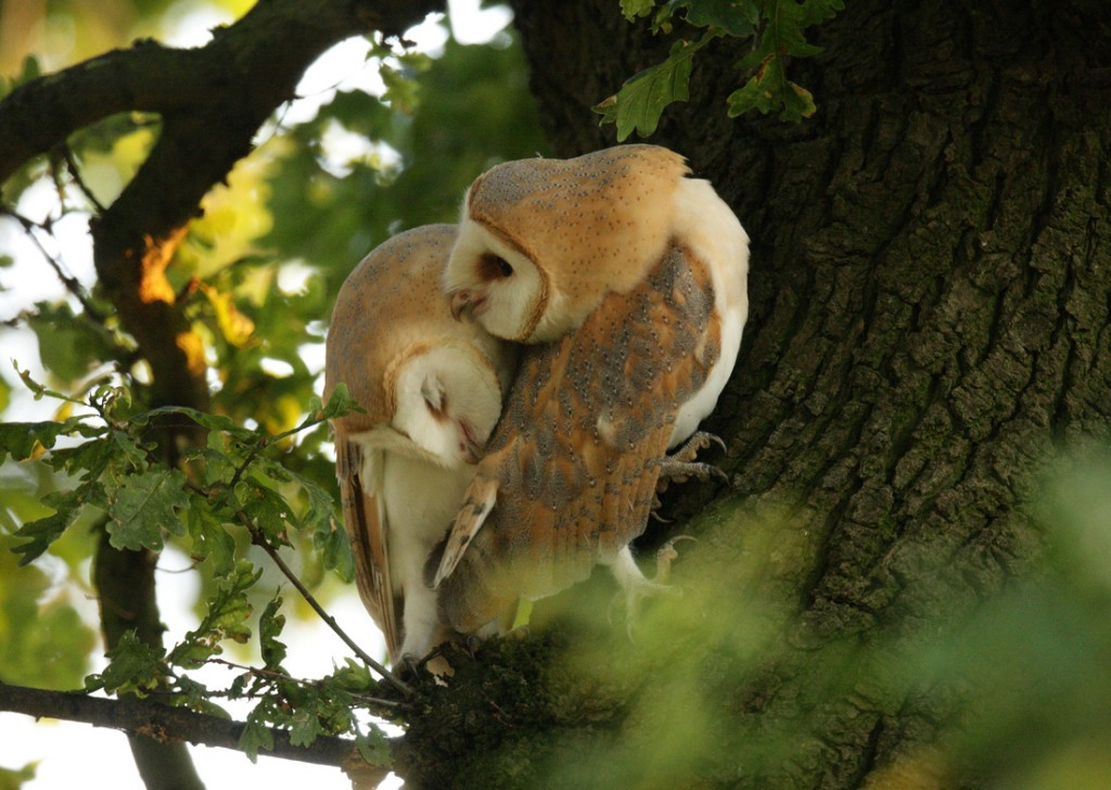Barn Owl pair meet and greet in an Oak tree. July evening, Suffolk. Tyto alba