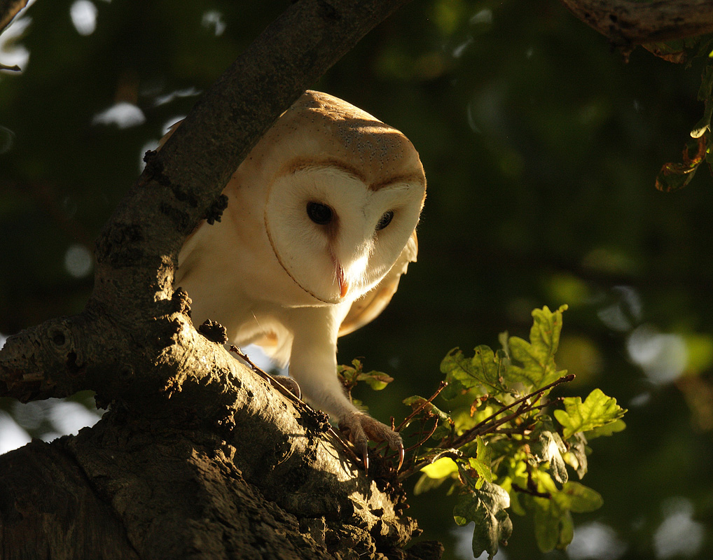 Barn Owl on the move at sunset in an Oak tree. July evening, Suffolk. Tyto alba
