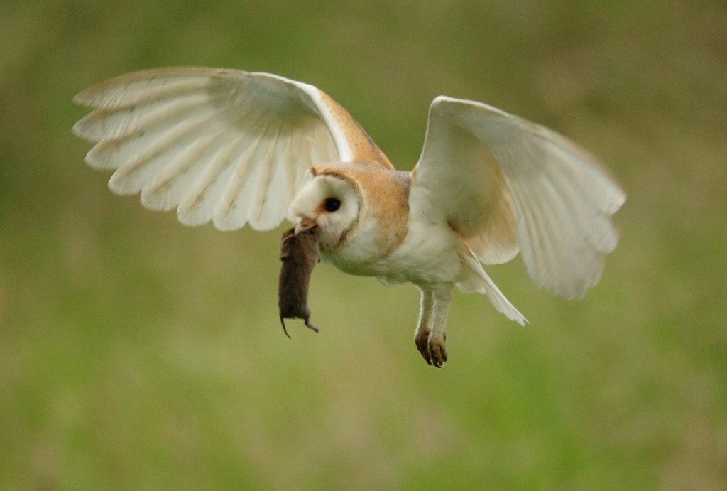 Barn Owl with vole fly past, early morning June, Suffolk. Tyto alba