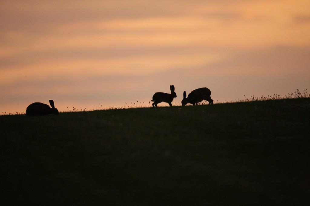 Brown Hares three at nightfall. August Suffolk. Lepus europaeus