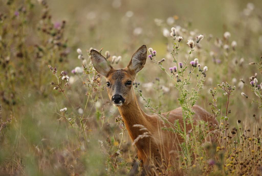 Roe Deer in tall summer flowers, early morning August Suffolk.Capreolus capreolus