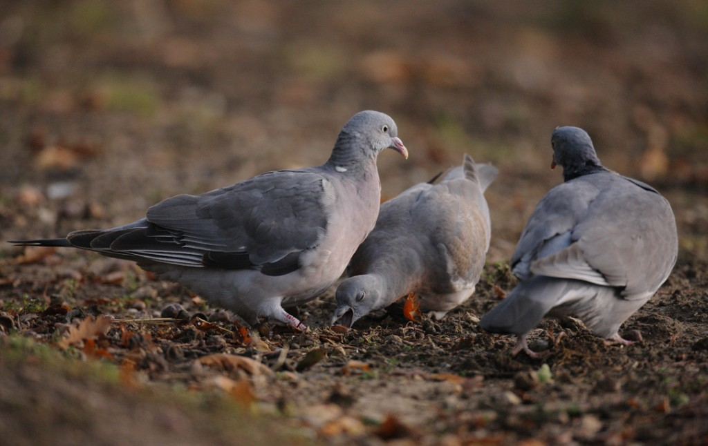 Young Wood pigeon learning to eat acorns from its parents