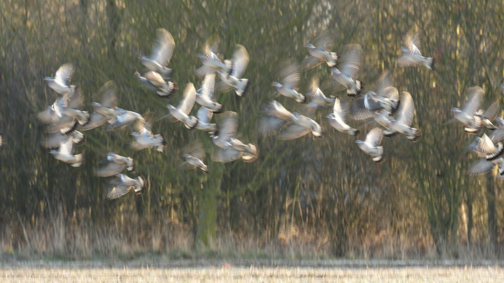 Wood Pigeon flock moving to the next field