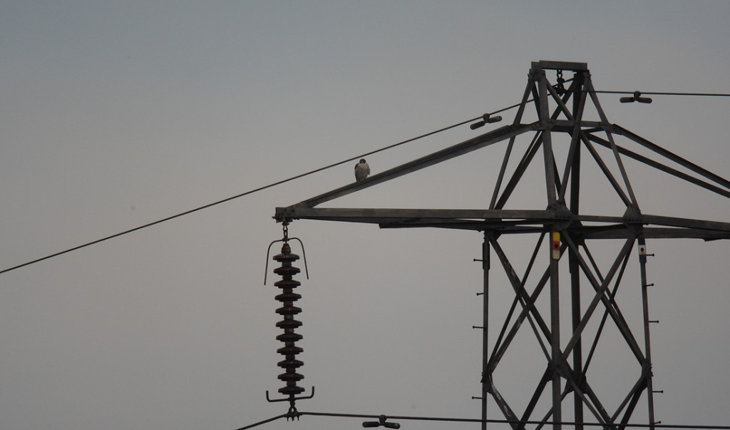 Peregrine on Suffolk Pylon, the ultimate Wood pigeon deterrent