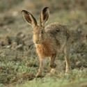 Brown Hare, wet and walking early September morning, Suffolk. Lepus europaeus