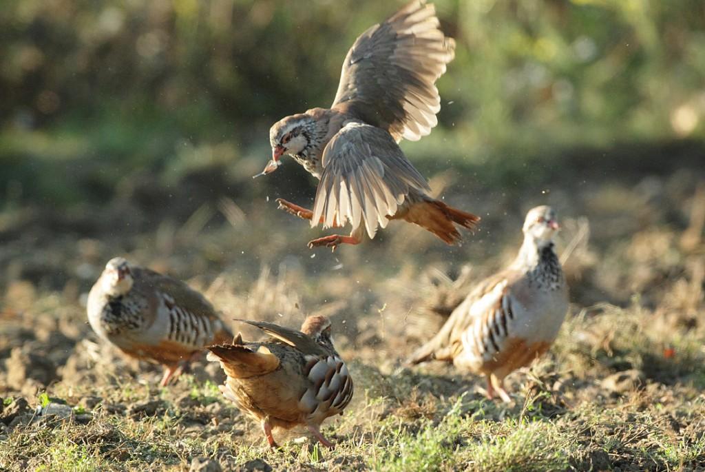Red-legged Partridge pair, morning disagreement feather in beak. August Suffolk Alectoris rufa