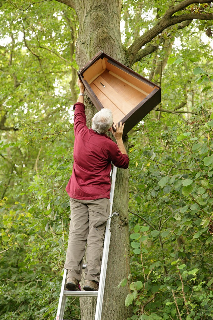 Errecting Barn owl box in Oak tree