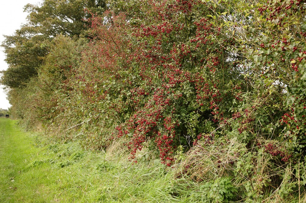 Hedge 2 years after cutting, full of berries with a thick grassy margin