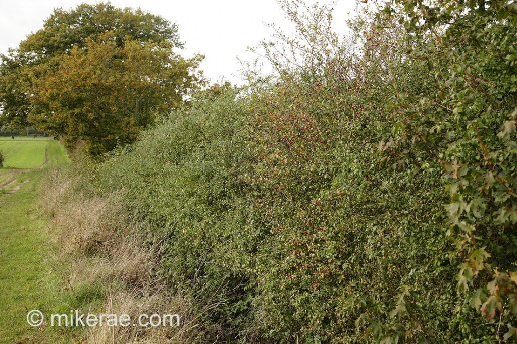 lower hedge with young oak trees alowed to grow through