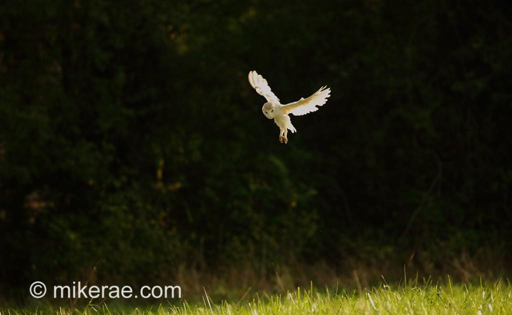 Barn owl hunting the meadow, evening sunlight October. Tyto alba