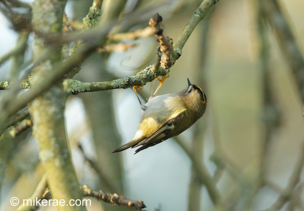 Goldcrest feeding in winter ash tree. Regulus regulus