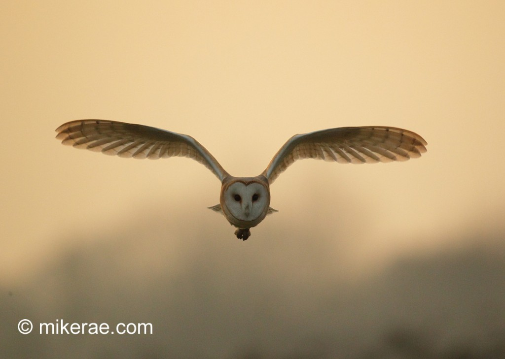 Barn owl flying out of winter sunset. Suffolk. Tyto alba