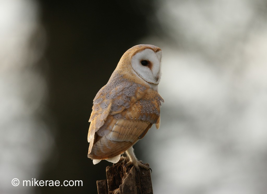 how to look after a barn owl