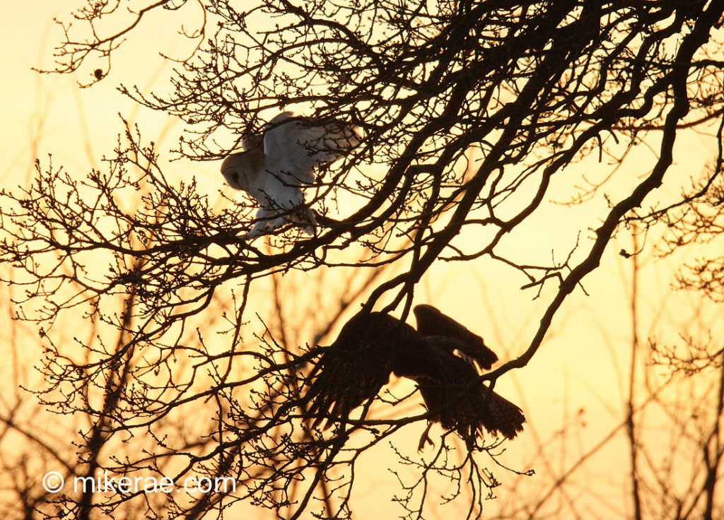 Barn owl retreating from buzzard. March evening. Suffolk. Tyto alba