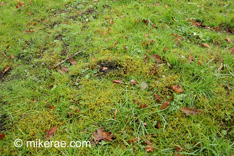 Churchyard grass dying and taken over by moss due to over mowing