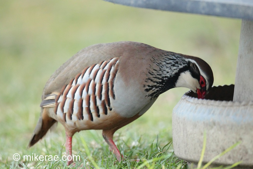 Red-legged partridge, using the feeder. March Suffolk. Alectoris rufa
