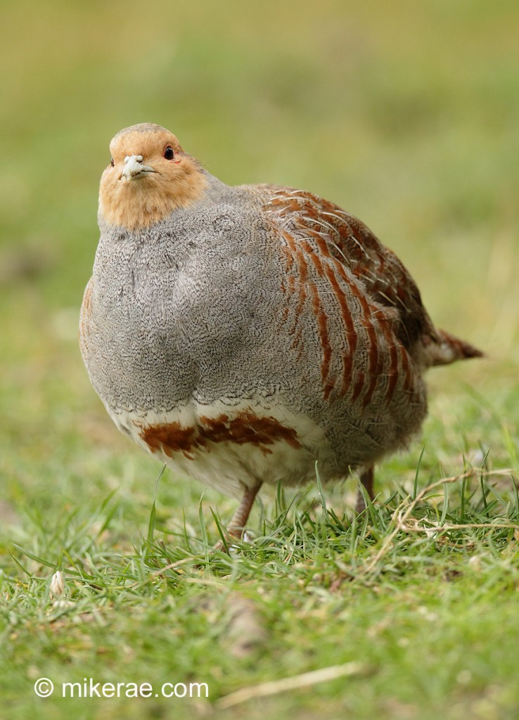 Grey partridge puffed up early morning. March Suffolk. Perdix perdix