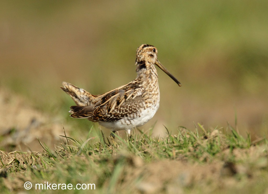 Snipe looking for food, March morning Suffolk. Gallinago gallinago