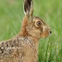 Brown hare sitting close at dawn, March Suffolk. Lepus europeanus