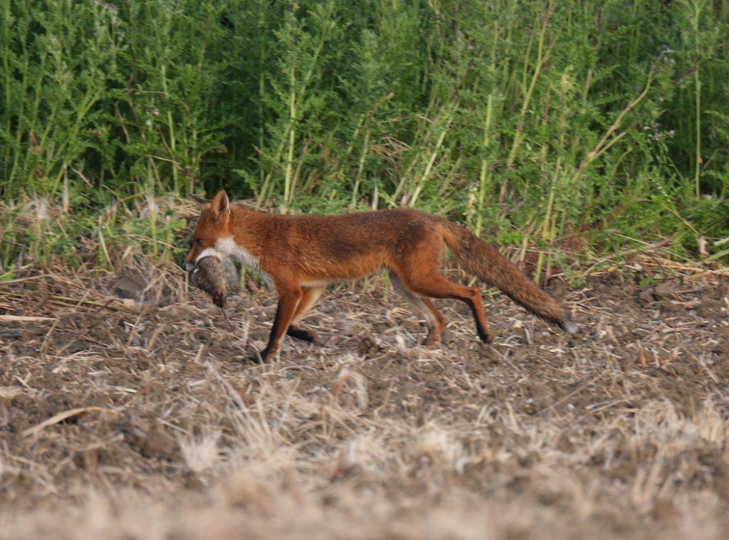 "Red fox with a ""big old dog rat"" June morning Suffolk. Vulpes vulpes"