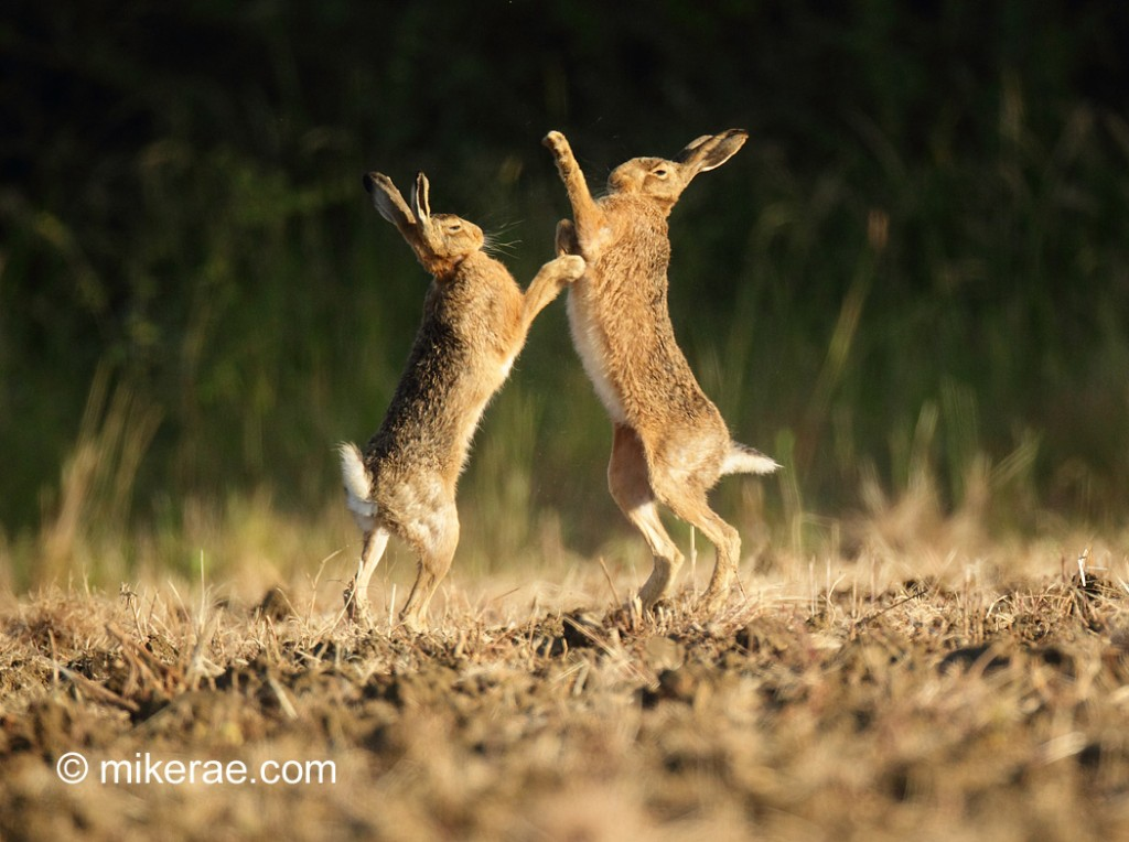 Brown hare pair mad June box early morning. June Suffolk. Lepus europaeus