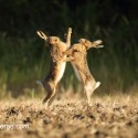 Brown hare pair June boxing close on early morning. June Suffolk. Lepus europaeus