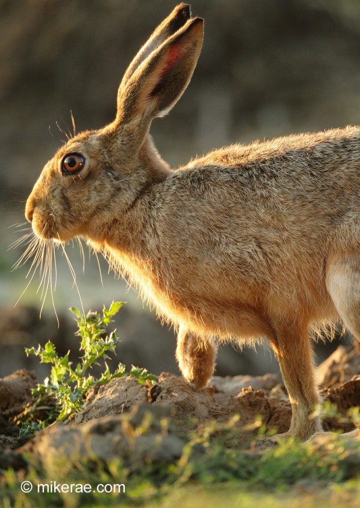 Brown hare stepping into dawn sun. August morning Suffolk. Lepus europaeus