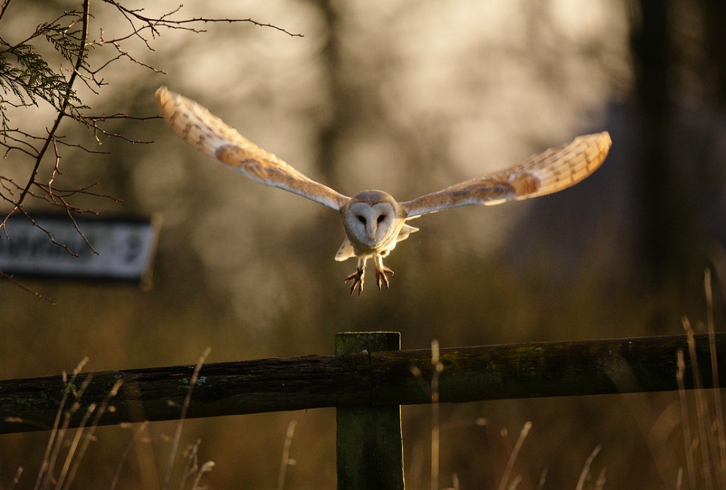 Barn owl hunting small Suffolk meadow March morning Tyto alba