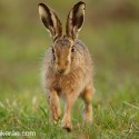 Brown Hare jogging close face on, April evening Suffolk. Lepus europaeus