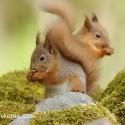 Red Squirrel pair having forward and back. May Cairngorm NP. Sciurus vulgaris