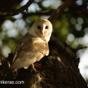 Barn owl turning to look round, sunny june evening after rain Suffolk. Tyto alba