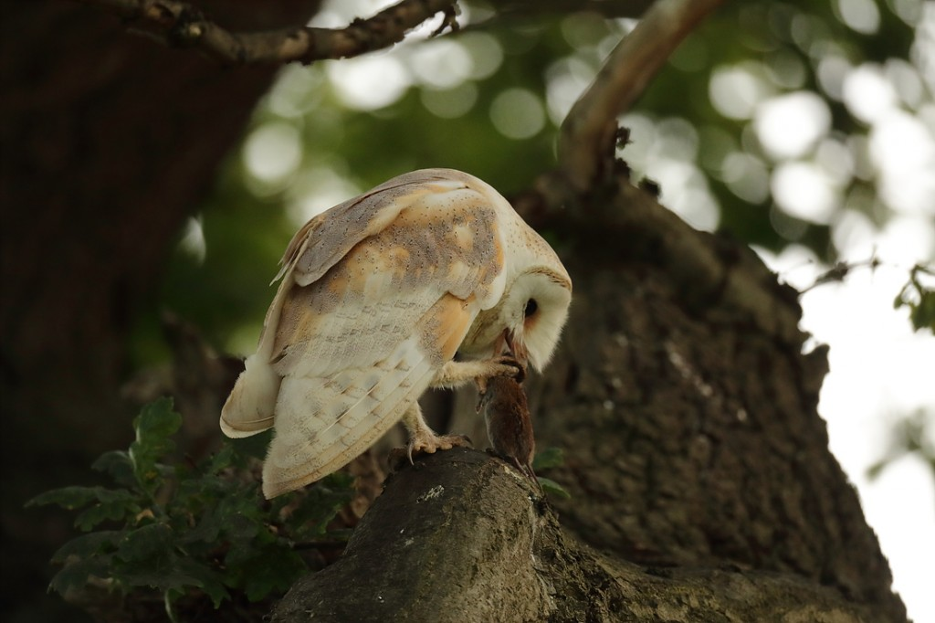 Barn owl picking up vole from right foot. Cloudy June evening. Tyto alba