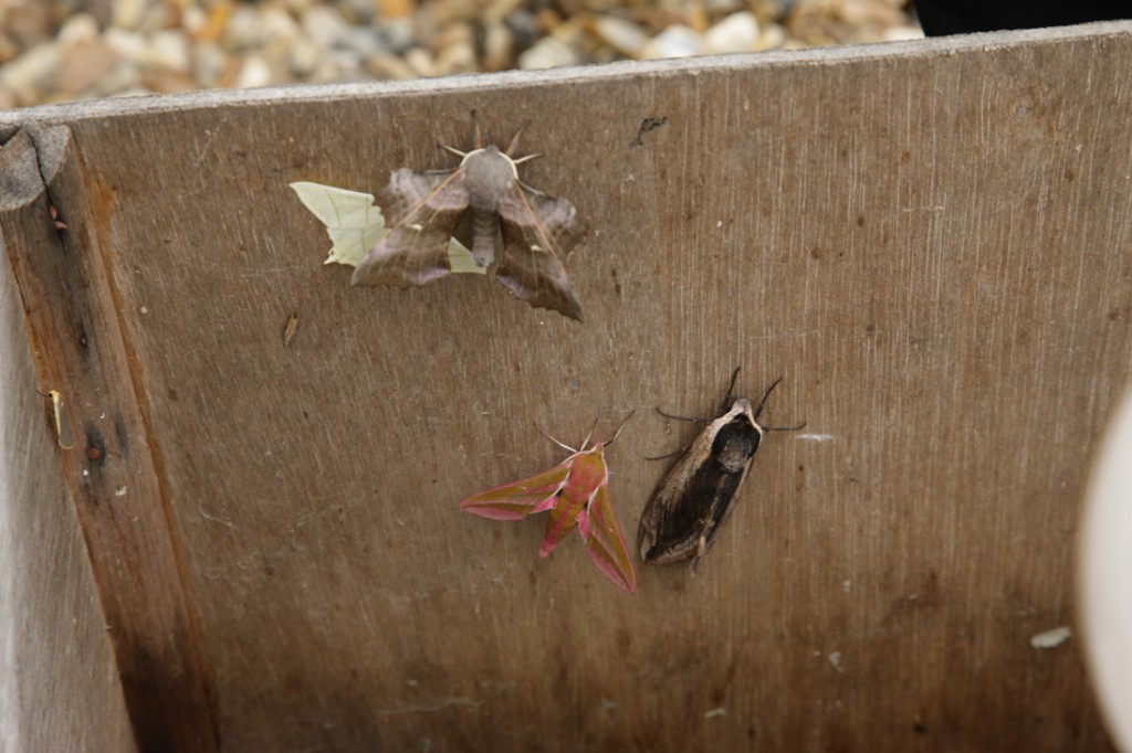 Moths in the trap early July