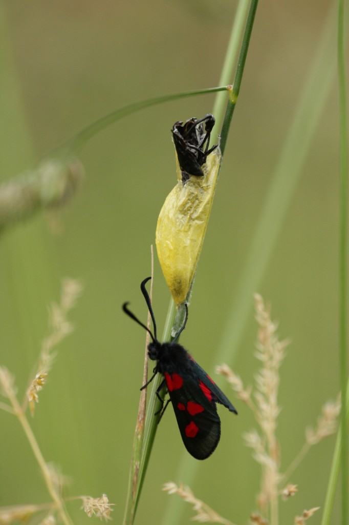 5 spot Burnet moth in Halls farm orchard