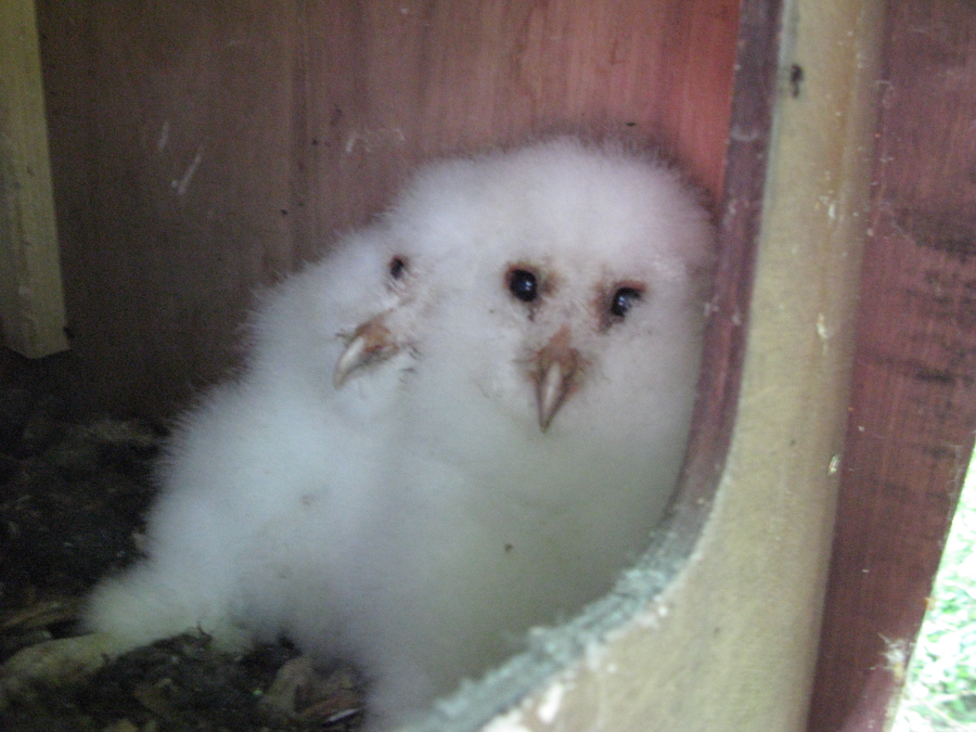 Barn Owl young in new Barn owl box